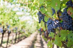PFA-urile din sectorul vitivinicol pot primi de la stat o subventie egala cu echivalentul in lei a 500 euro/ha